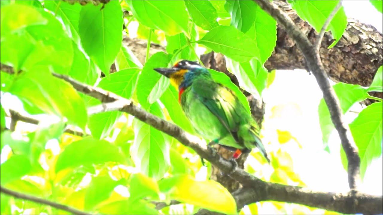 五色鳥的四種不同鳴叫聲 - YouTube