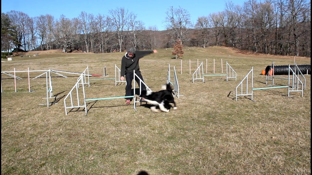 Agility dog training Bardo Di Petrademone Border Colie 9 mesi.MOV