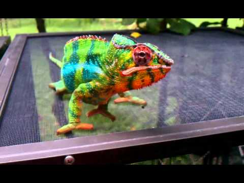 The most beautiful Panther Chameleon in the world