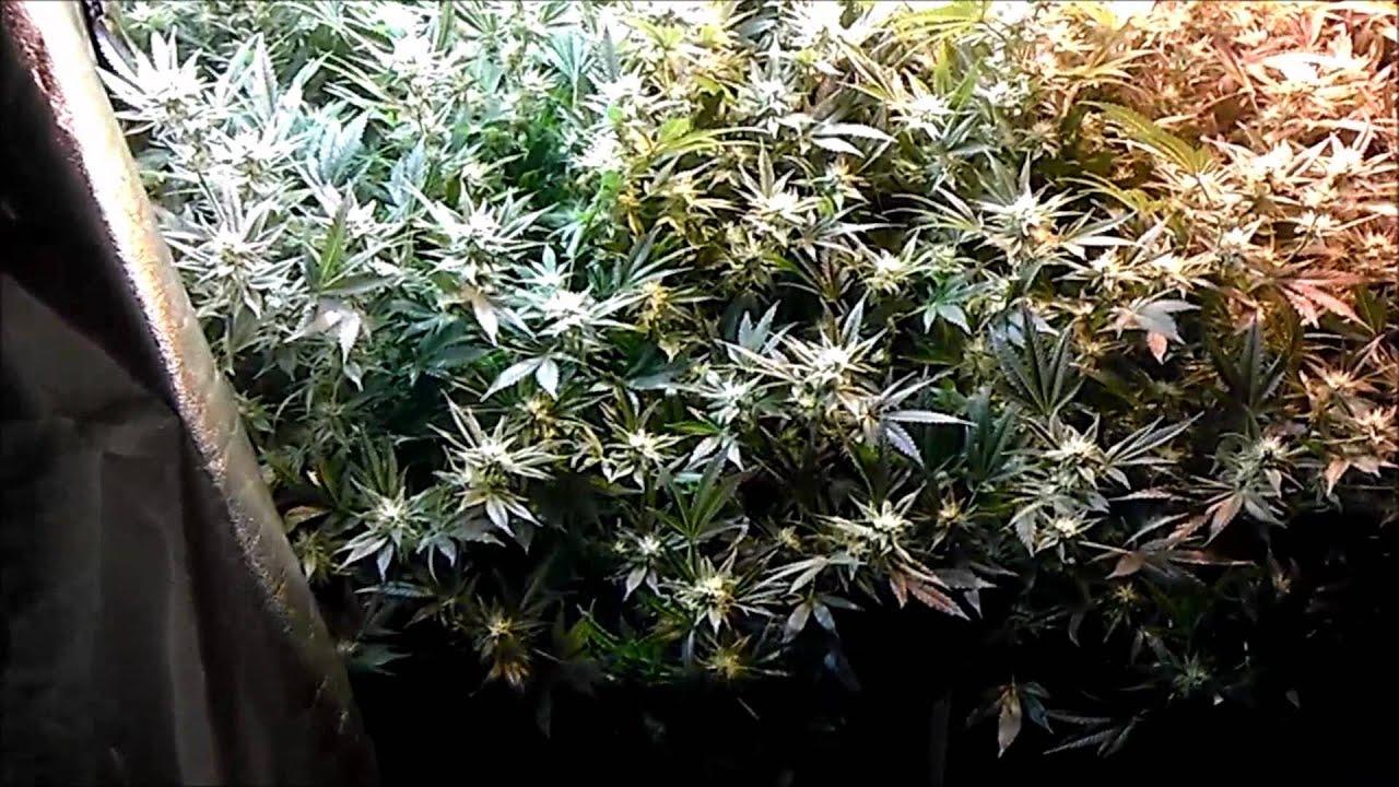Legal Medical Cannabis Scrog Grow Tent Setup