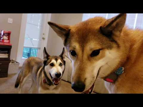 Jealous Husky Hybrid ( Cute Dogs Playing )