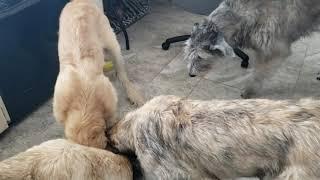 Irish Wolfhound puppies 5 months old having lunch