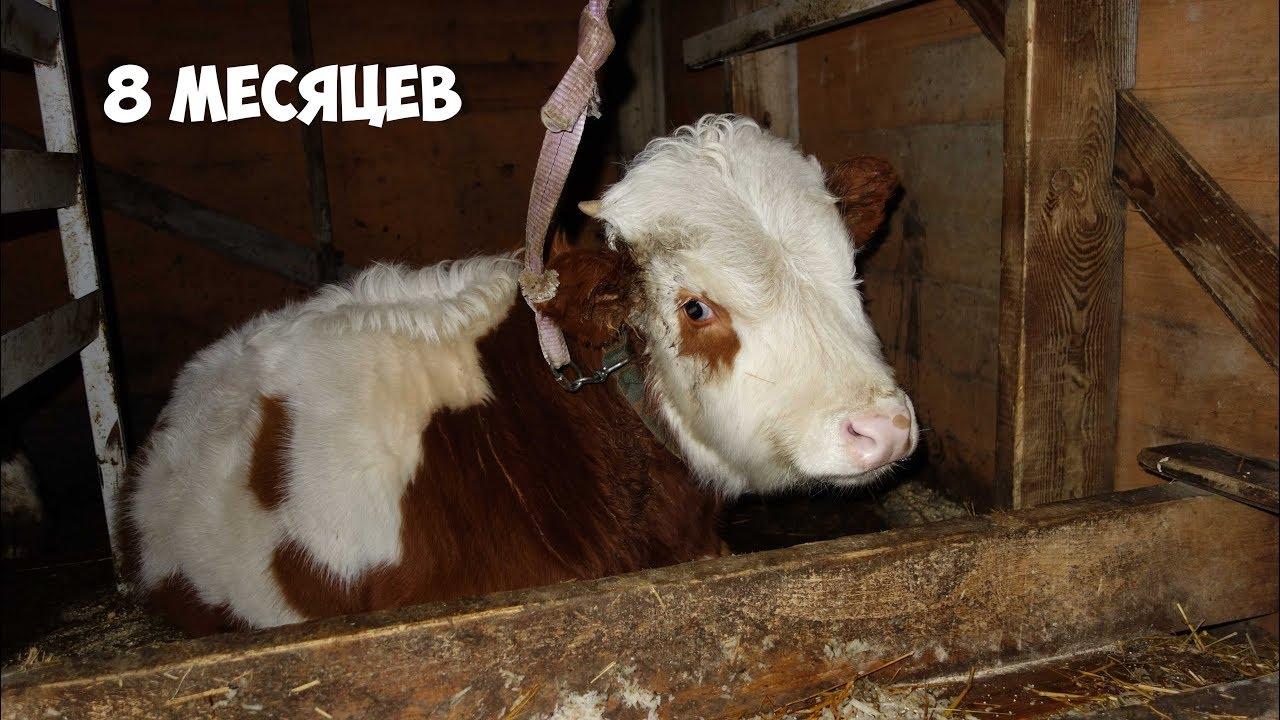 откорм бычков с 6 месяцев