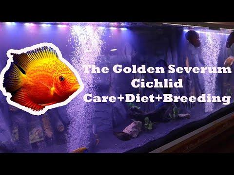 The Golden Severum Cichlid Documentry Care Guid+ Tank Setup + Breeding +Diet