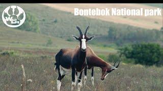Bontebok in Bontebok!   Bontebok National park - theWildLife