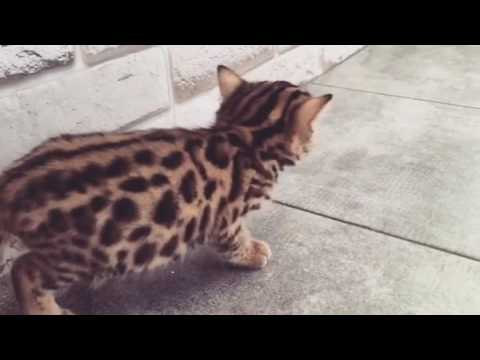 Teach savannah cat tricks