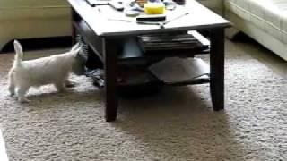 West Highland White Terrier in Rage