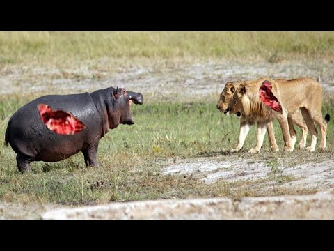 Разорвали на Куски! СУМАСШЕДШИЕ битвы Животных, Снятые на Камеру