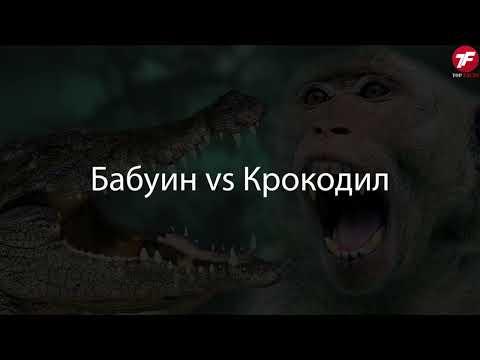 Разорвали на Куски! СУМАСШЕДШИЕ битвы Животных, Снятые на Камеру - Видео онлайн