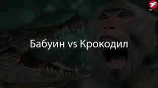 Разорвали на Куски СУМАСШЕДШИЕ битвы Животных Снятые на Камеру
