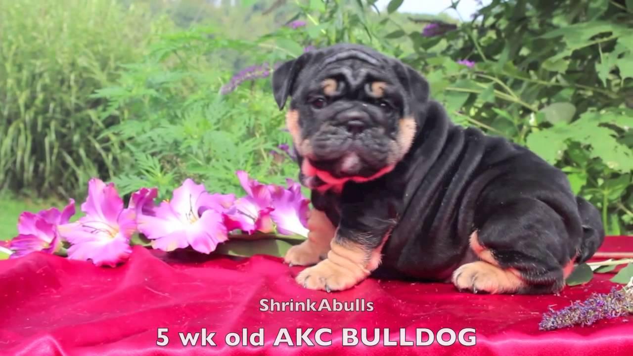 Black Tan English Bulldog Puppy Akc Bulldog