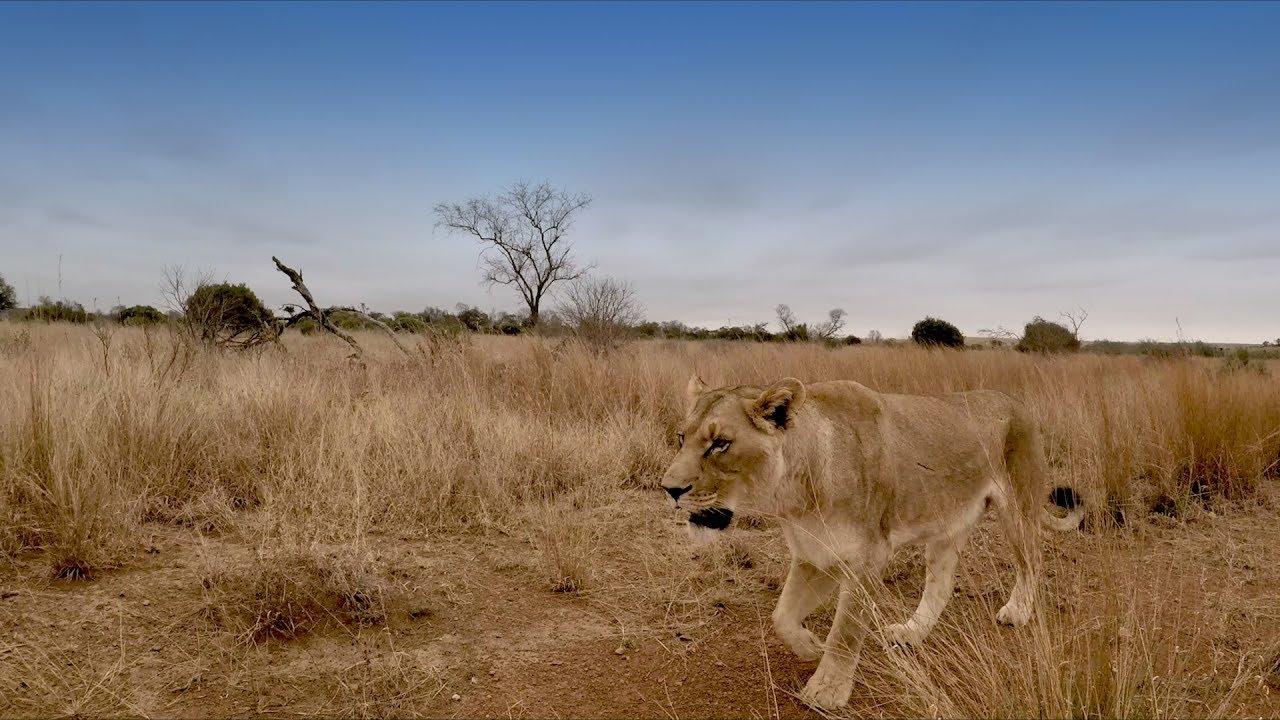bobcat-returns-the-lion-whisperer