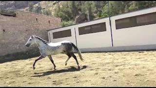 Продаём лошадей Андалузской породы www.spanishhorse.ru