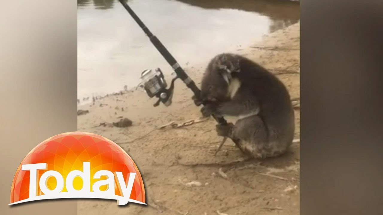 Koala Caught On Camera Fishing