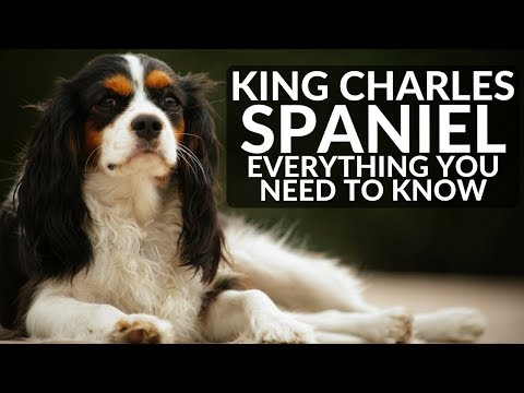 CAVALIER KING CHARLES SPANIEL 101! Everything You Need To Know (2018)