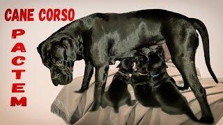 Щенки собаки Кане Корсо 2,5 месяца. #canecorso