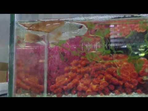 การเพาะปลากัดง่ายๆ Breeding Betta รถเมล์พาทัวร์