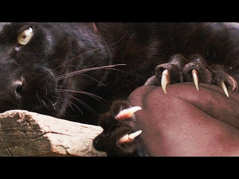 Black Panther Attacks ZooKeeper [How NOT To Feed Big Cats]