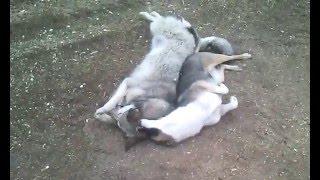 Собаки Муха и Валя ,  в свободное от работы время !