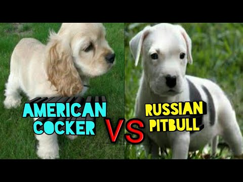 RUSSIAN PITBULL VS AMERICAN COCKER SPANIEL PUP || PUPPY PLAYING || PITBULL PUPPY PUNJAB ||