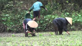 Vietnamese Farmers planting rice in Tam Doc, Vietnam Feb 2011