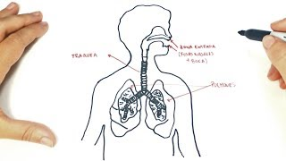 How to draw a The respiratory system Step by Step