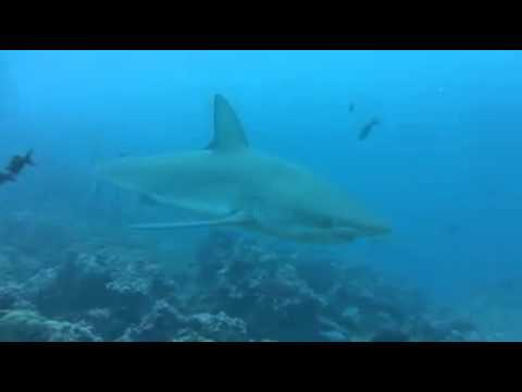GALAPAGOS Shark   TOO CLOSE FOR COMFORT