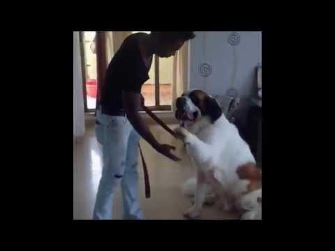 ST. BERNARD Dog Training by Anurag
