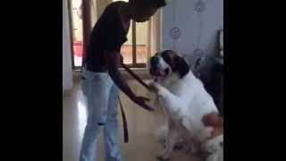 ST. BERNARD Dog Training by Anurag