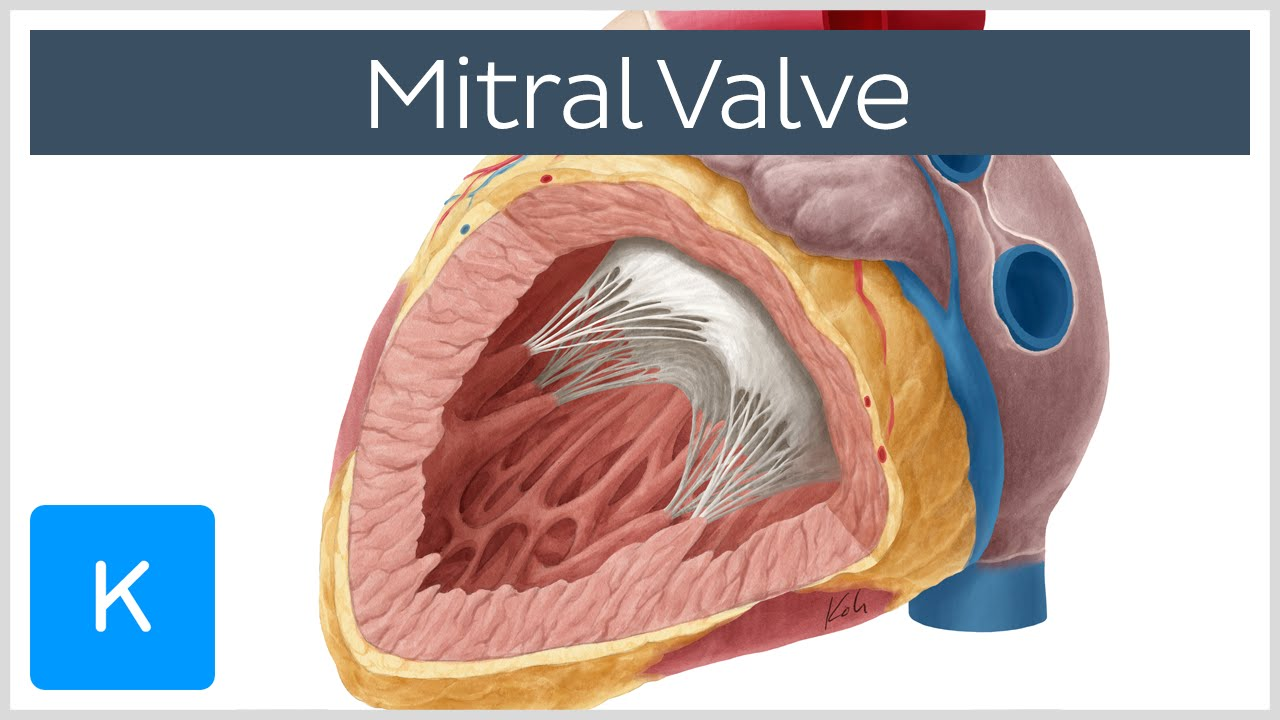 Mitral Valve - Anatomy, Function & Area - Human Anatomy | Kenhub ...