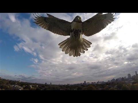 Hawk Attacks Drone in Cambridge, Mass.