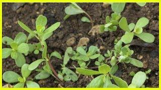 Le pourpier : 10 propriétés de cette plante médicinale