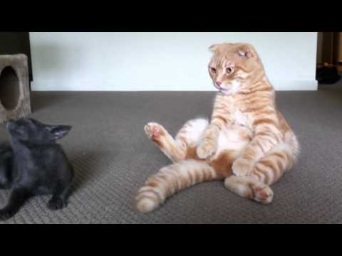 Thumbnail for Cat Video Scottish Fold sitting up and playing with tiny Russian Blue