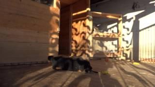 Amato Dio Тибетский мастиф, щенок, девочка 3 месяца