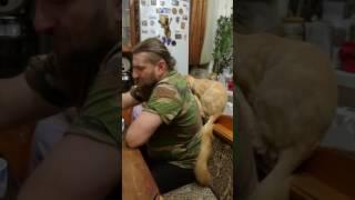 Ласковый до невозможности кот Мейн кун