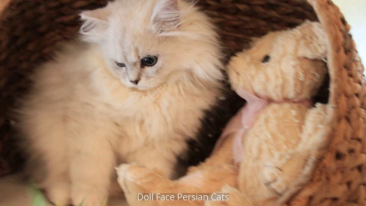 Doll Face Persian Cats