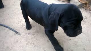 О породе, собака кане-корсо, смотреть фильмы  про  породу собак кане-корсо