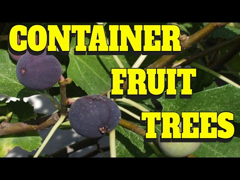 🍎HOW TO GROW FRUIT TREES IN CONTAINERS 🌲CONTAINER FIGS🍇CONTAINER CITRUS🍋CONTAINER BLACKBERRIES 🍇