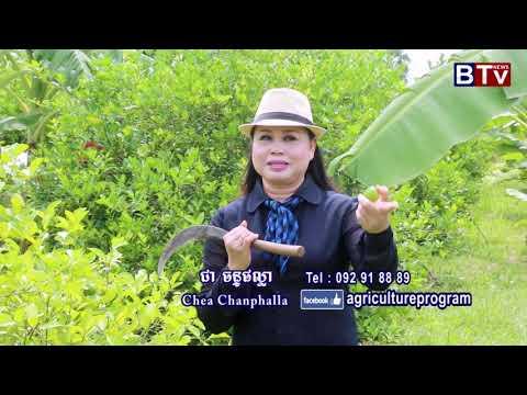 Agriculture Program In BTV Cambodia | Lemon Plant