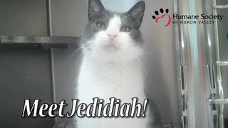 Meet Jedidiah, a friendly grey and white cat available for adoption at HSHV.