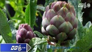Rước bệnh vì lạm dụng hoa Atisô | VTC