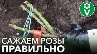 КАК ПОСАДИТЬ РОЗЫ ОСЕНЬЮ? Важные нюансы при осенней посадке роз