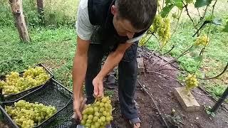 Виноград Аркадия, урожай с куста 2018