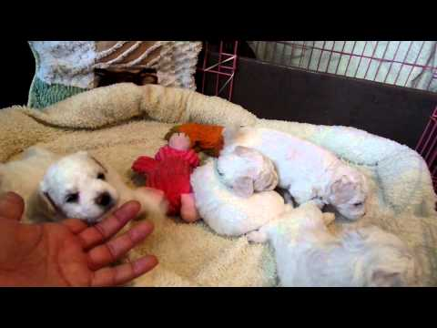 Baby Bichon Boys 4 weeks old playing