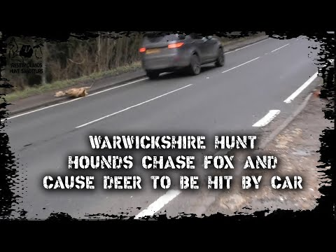 Hounds Chase Fox And Cause Deer To Be Hit By Car