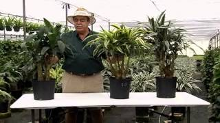 Dracaena Bonsai Stumps 10in 3-25-13