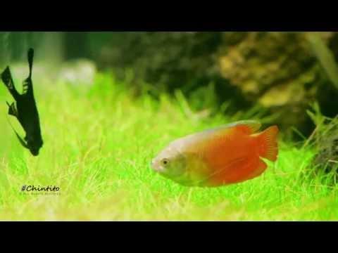 ReBorn Nature Aquarium Aquascape  [Fish showcase]
