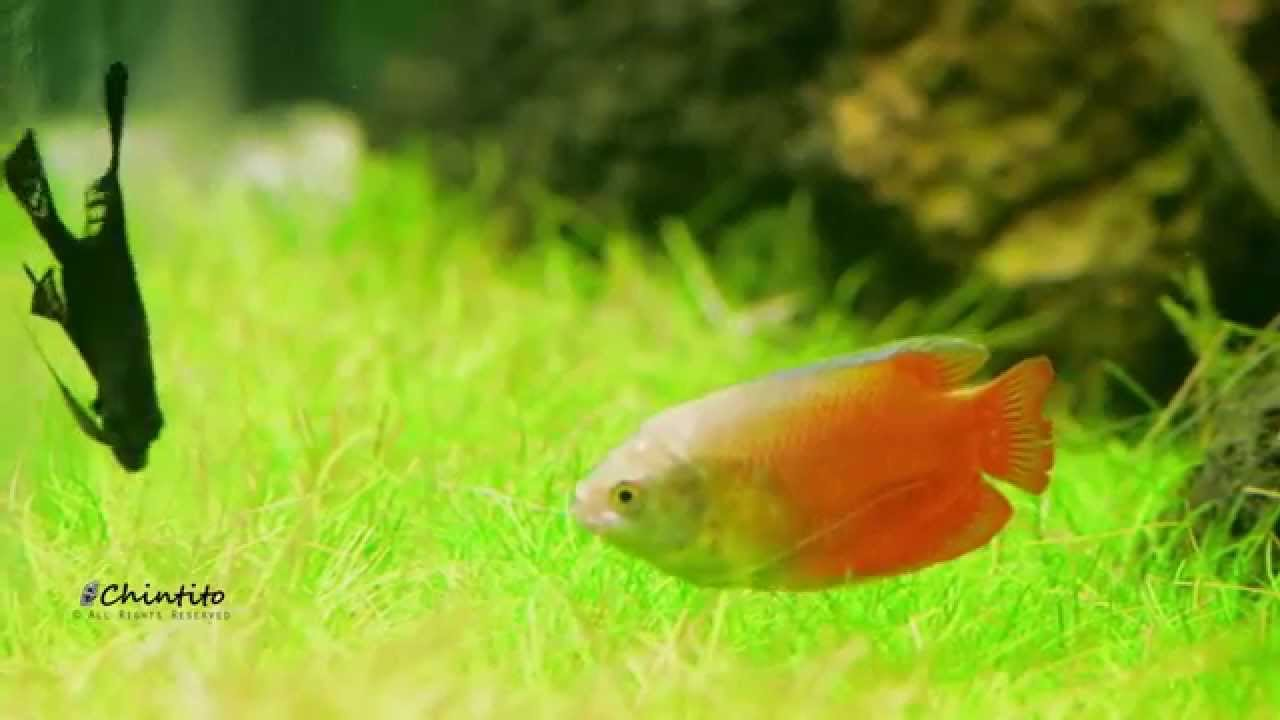 Beautiful ReBorn Nature Aquarium Aquascape [Fish Showcase]   YouTube