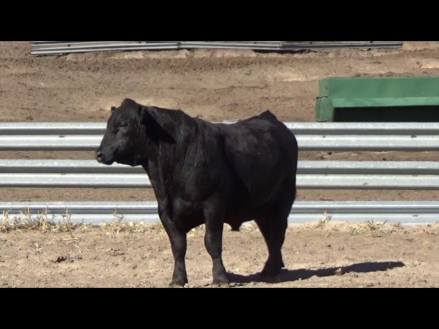 Connealy Angus Lot 81