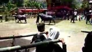 Buffalo sacrifice - funeral; Zlozenie bykow w ofierze